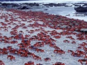 crab-breeding